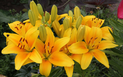 Yellow lilies wallpaper