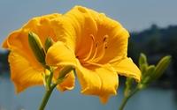 Yellow lily wallpaper 2560x1600 jpg