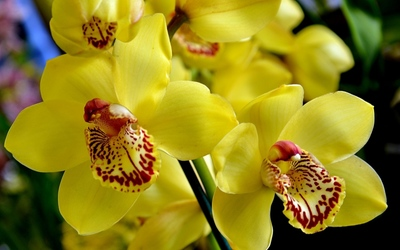 Yellow orchids [3] wallpaper
