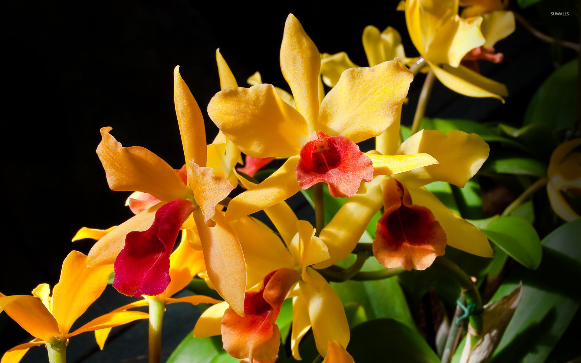Yellow orchids wallpaper flower wallpapers 6951 yellow orchids wallpaper mightylinksfo