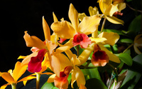 Yellow orchids wallpaper 1920x1200 jpg