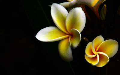 Yellow plumerias wallpaper