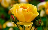Yellow rose [2] wallpaper 1920x1200 jpg