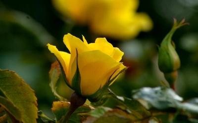 Yellow rose [4] wallpaper