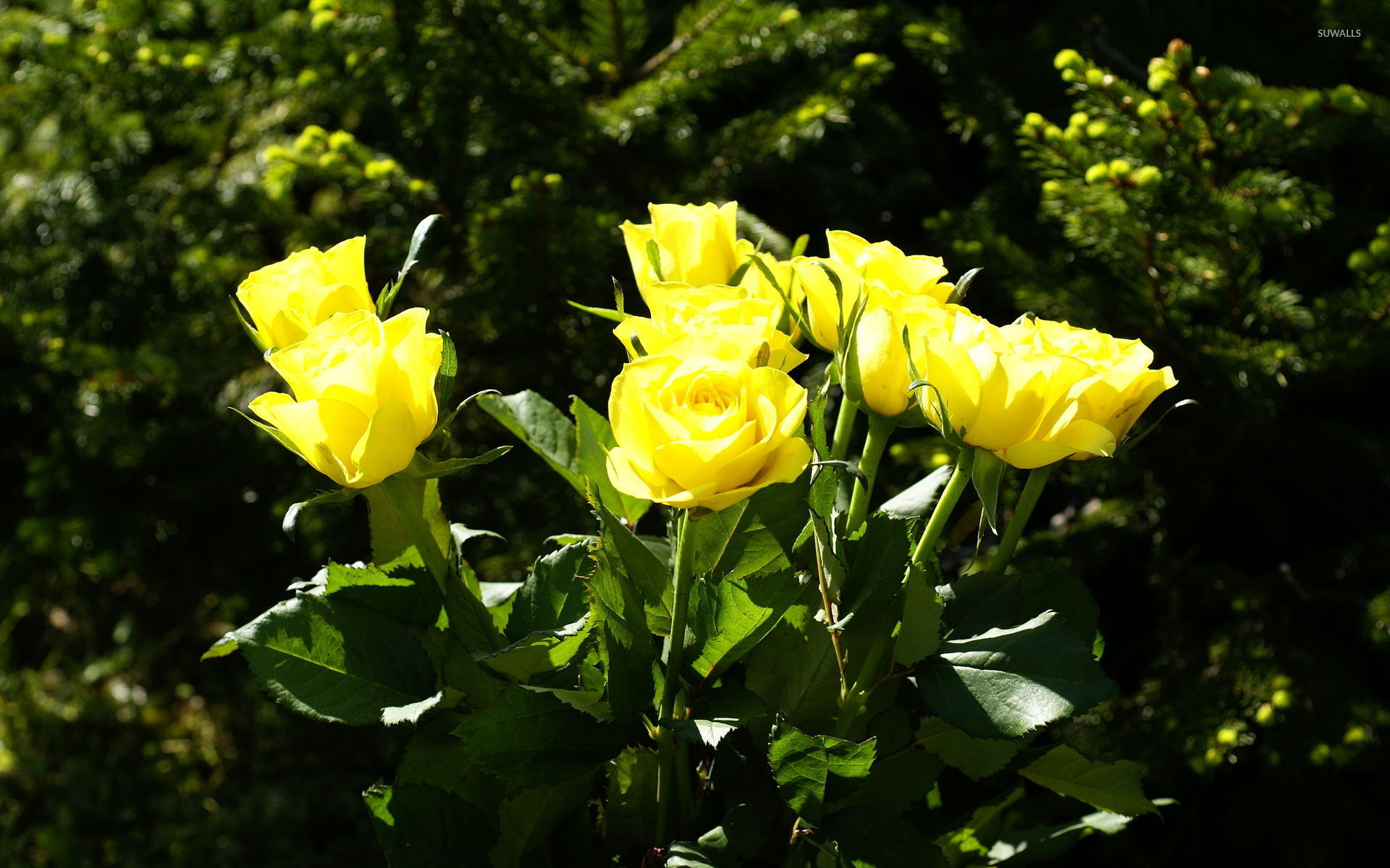 yellow roses [2] wallpaper - flower wallpapers - #134