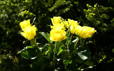 Yellow Roses [2] wallpaper