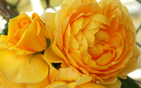 Yellow roses wallpaper 2880x1800 jpg