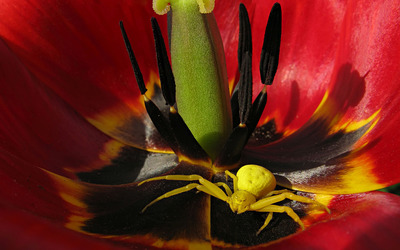 Yellow spider in a tulip wallpaper