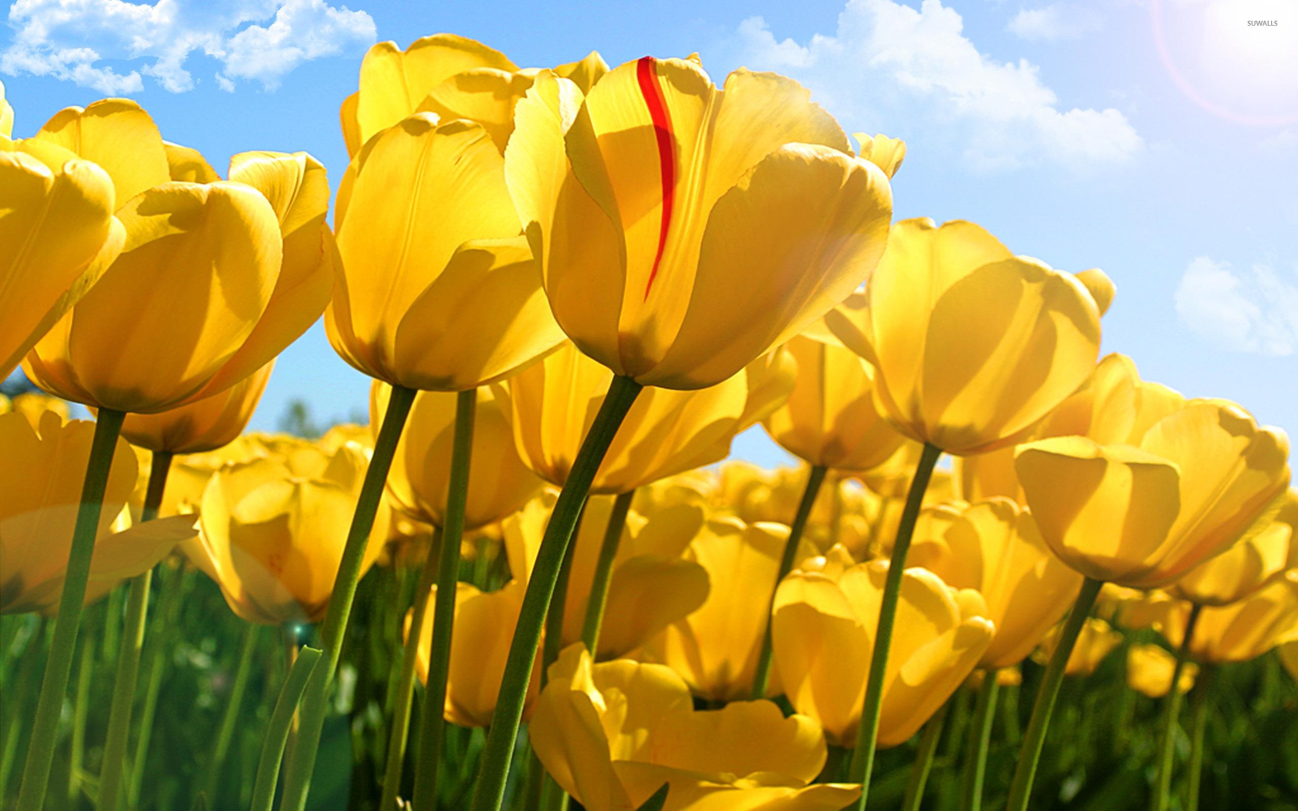 Yellow Tulips 5 Wallpaper Flower Wallpapers 35738