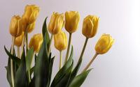 Yellow Tulips [4] wallpaper 1920x1200 jpg