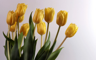 Yellow Tulips [4] wallpaper