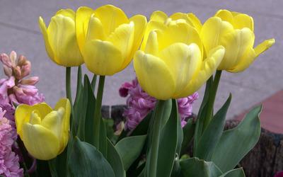 Yellow tulips [2] wallpaper