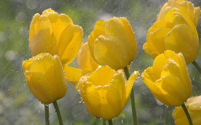 Yellow tulips on a rainy day wallpaper