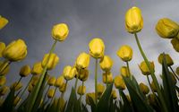 Yellow tulips with water drops wallpaper 1920x1080 jpg