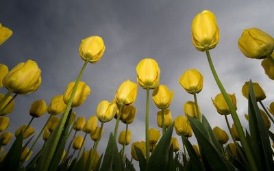 Yellow tulips with water drops wallpaper