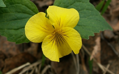 Yellow violet wallpaper