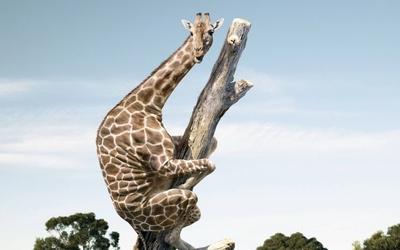 Giraffe on a tree trunk wallpaper