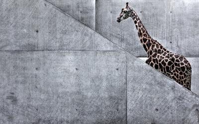 Stair climbing giraffe wallpaper
