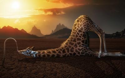 Thirsty giraffe wallpaper