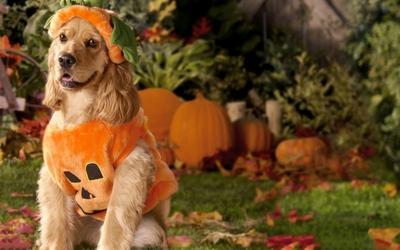 Dog dressed as a pumpkin wallpaper