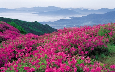 Amazing pink flowers on the hill wallpaper