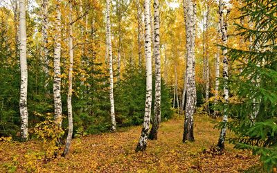Autumn birch forest [2] wallpaper