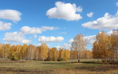 Autumn birch trees wallpaper
