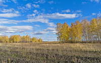 Autumn birch trees on a sunny day wallpaper 1920x1200 jpg