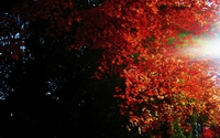 Autumn maple leaves in the trees wallpaper 2560x1600 jpg
