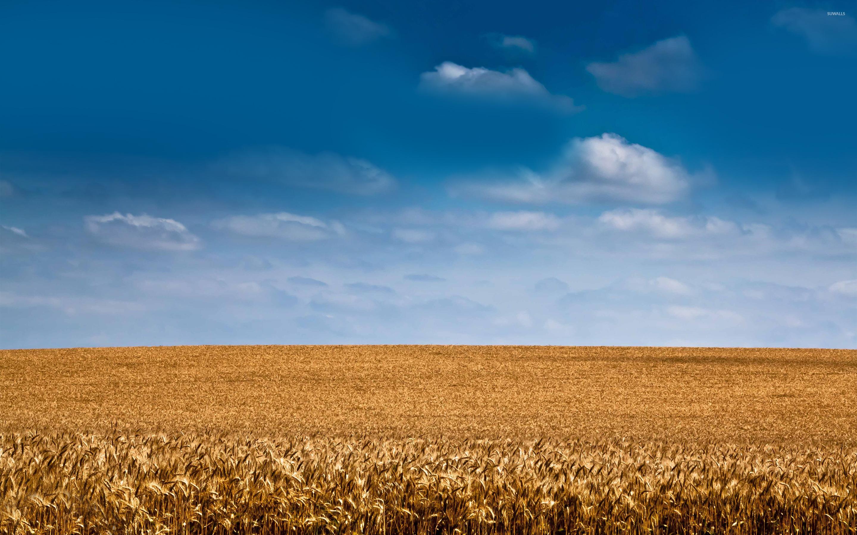 barley fields by nitrok-#39