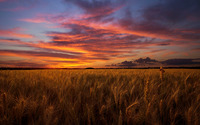 Barley field under the orange sky wallpaper 1920x1200 jpg