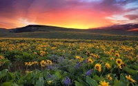 Beautiful sunset over the sunflowers wallpaper 1920x1200 jpg