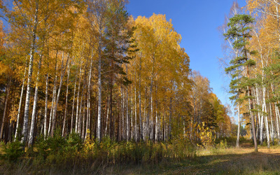 Birch autumn forest wallpaper