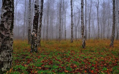 Birch forest in the fog wallpaper