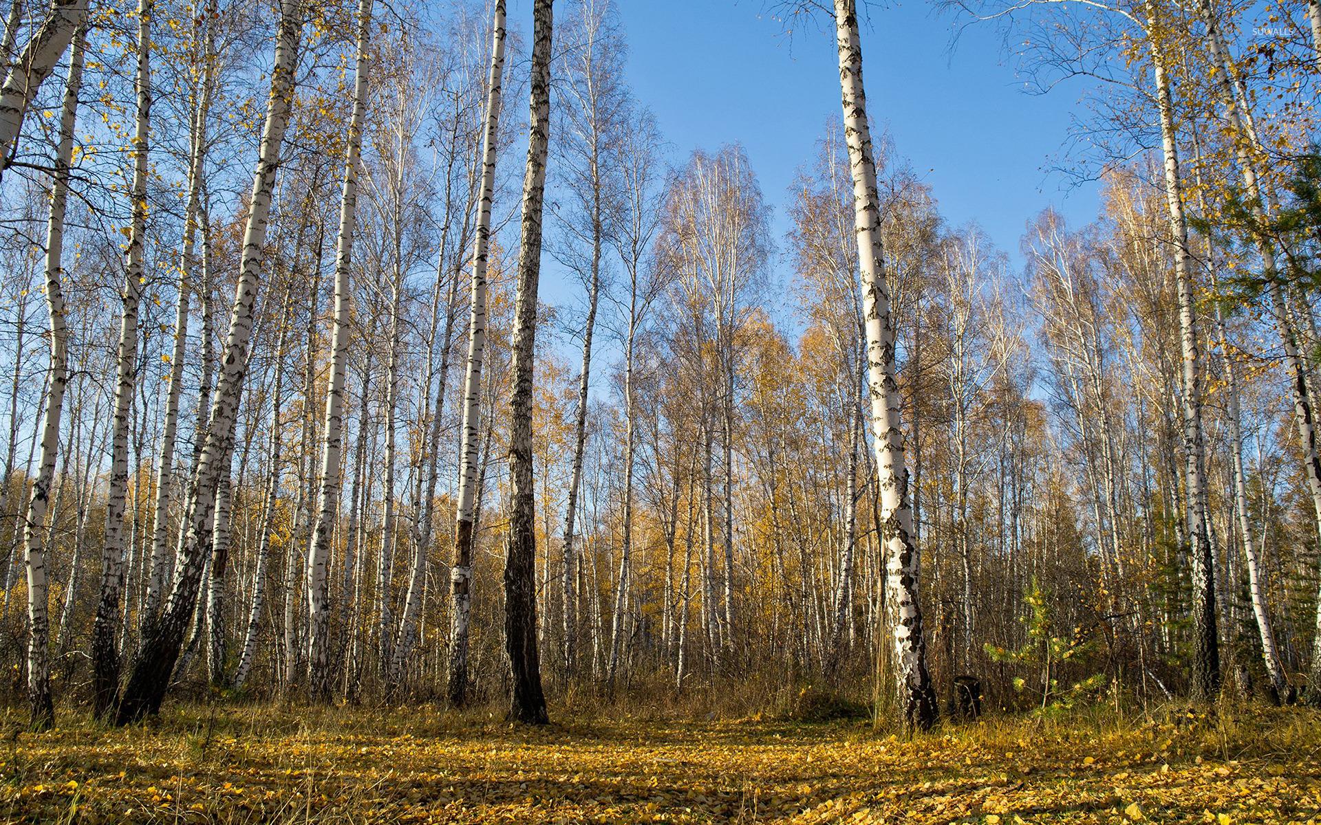 Birch Trees Wallpaper Nature Wallpapers 40085