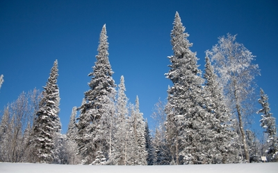 Blue sky over the snowy trees wallpaper
