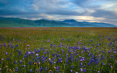 Bluebonnet field in the mountain valley wallpaper