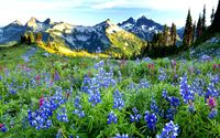Bluebonnets near the snowy peaks wallpaper 2560x1600 jpg