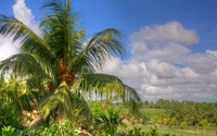 Coconut tree wallpaper 2560x1600 jpg