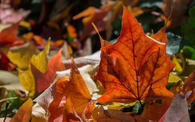 Colorful fallen leaves wallpaper