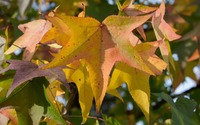 Colorful sweetgum leaves wallpaper 2880x1800 jpg