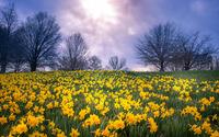 Daffodil field wallpaper 1920x1200 jpg