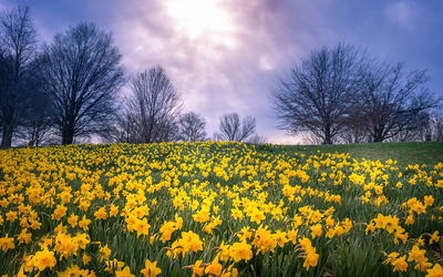 Daffodil field wallpaper
