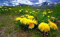 Dandelions in the mountain meadow wallpaper 1920x1200 jpg