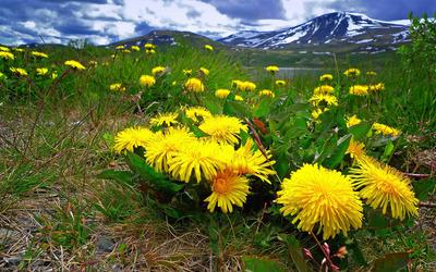 Dandelions in the mountain meadow wallpaper