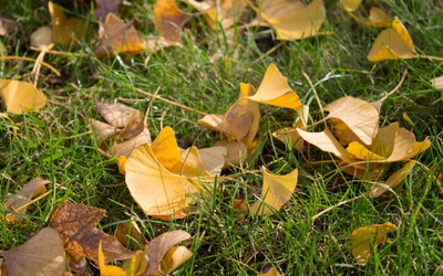 Dry ginkgo biloba leaves in the grass wallpaper