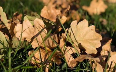 Dry oak leaves in the grass wallpaper