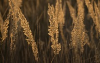 Feather grass spikes in the sunset light wallpaper 2560x1600 jpg