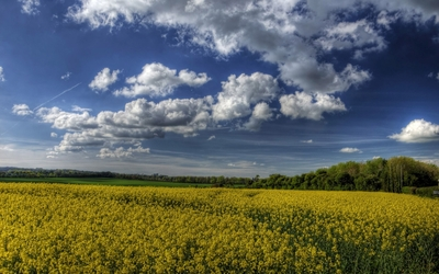 Fluffy clouds over the rapeseed field wallpaper