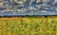Fluffy clouds over the sunflowers wallpaper 2560x1600 jpg